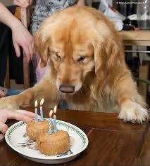Birthday Cake Dog Meme - golden retrievers celebrating birthdays incredible things