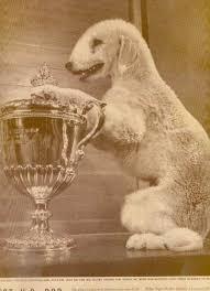 bedlington terrier stud one of the greats bedlington terrier ch rock ridge night rocket
