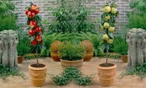 mini patio fruit trees groupon goods
