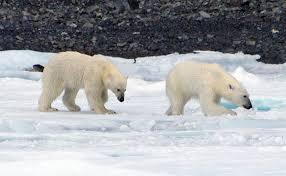 polar bear facts and adaptations ursus maritimus