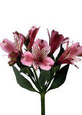alstroemeria flower grower direct flower varieties alstroemeria