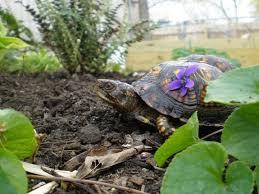 organic gardening is key when keeping turtles