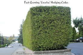 hedging plants budget wholesale nursery ornamental western red cedar u0027excelsa u0027 clipped into this nice box
