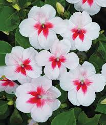 impatiens flowers impatiens cherry splash impatiens at burpee