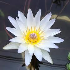 Blue Lotus Flower Meaning - best 25 flower meanings ideas on pinterest birth flowers