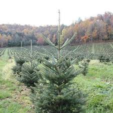 balsam fir christmas tree 5 great farms to purchase a christmas tree online