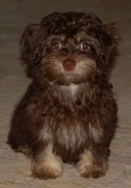 havanese vs bichon frise bichon havanese awwww i want one animal pinterest dog