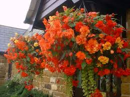 Hanging Plants For Patio Best Plants For Hanging Baskets Balcony Garden Web