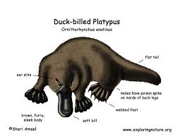 platypus coloring pages platypus duck billed
