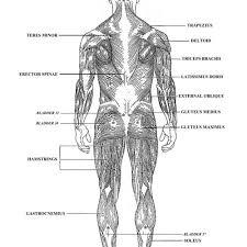 Human Anatomy Worksheet Human Muscle Anatomy Worksheet Human Anatomy Muscles Worksheets
