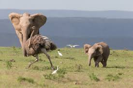ostrich gives baby elephant a run for its money aol uk