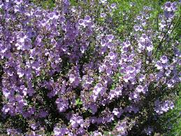 best australian native plants for pots and containers gardening prostanthera u0027minty u0027 native u2013 mint bush gardening with angus