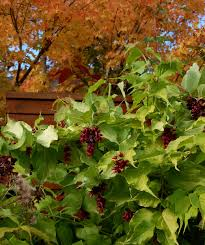 shrubs fall color u0027s gardening blog