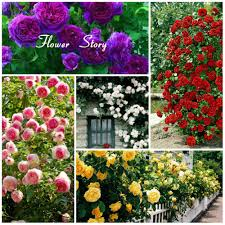 aliexpress com buy 100 climbing roses seeds pink red purple