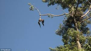 us army veteran rescues bald eagle dangling from a
