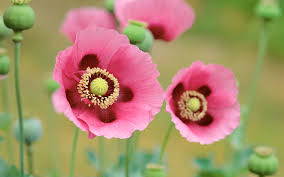 poppies flowers poppies flowers wallpapers hd wallpapers id 11743