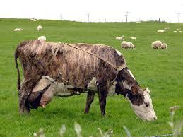 icelandic cattle wikipedia