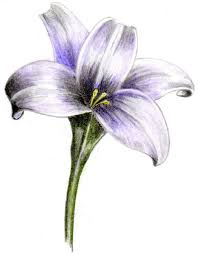 Purple Lily Flower White And Purple Lily Design