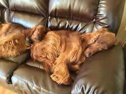 new year s setters 385 best images on dogs friends and setter