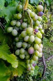 free picture unripe grapes vine tree