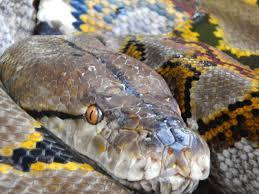 Serum Ular snake in pengenalan dan pengobatan dengan serum ular