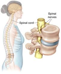 Human Vertebral Column Anatomy Anatomy Of The Spine Article Patients Depuy Synthes Companies