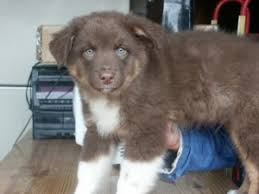 australian shepherd puppy 2 months bringing home an australian shepherd puppy what you need to know