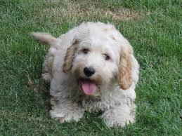 bichon frise shih tzu mix for sale 23 unreal cocker spaniel cross breeds you have to see to believe