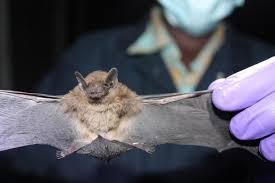 bats are the major reservoir of coronaviruses worldwide
