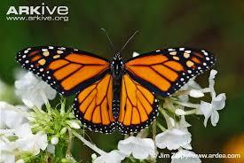 monarch butterfly photos and facts danaus plexippus arkive