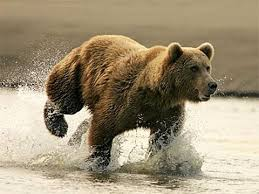 Animal Planet Documentary Grizzly Bears Full Documentaries - the brown bear nature documentary earth documentaries forest