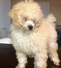 standard poodle hair styles is toy poodle hairstyles still relevant toy poodle hairstyles