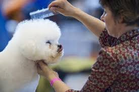 bichon frise fluffy 11 fluffy facts about the bichon frise mental floss