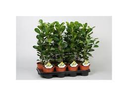 ficus microcarpa moclame house plant in 14cm pot one ornamental