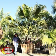 mexican fan palm growth rate palm trees moon valley nurseries
