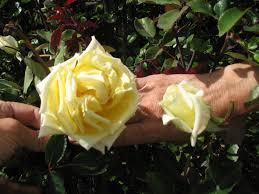 native nevada plants finding roses in the sierra nevada foothills u2013 part 1 ramblings