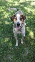 bluetick coonhound kennels in tennessee bluetick coonhound dogs for adoption in usa