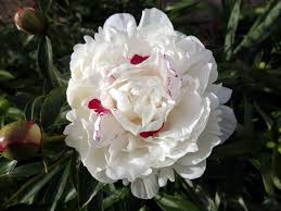 pianese flowers peonies plant care and collection of varieties garden org
