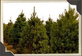 scotch pine christmas tree types of trees sheets tree farm christmas trees