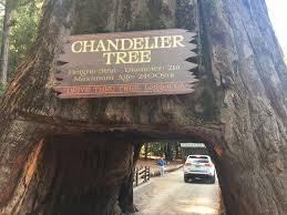 Tree Chandelier Chandelier Tree Picture Of Chandelier Drive Through Tree