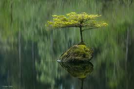 fairy lake fir adam gibbs botanical realms wildlife