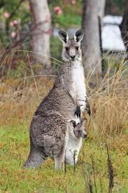 36 best kangaroos images on pinterest kangaroos wild animals