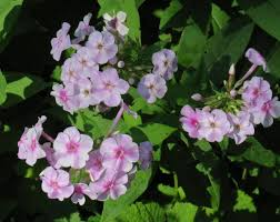 american beauties native plants cup plant new hampshire garden solutions