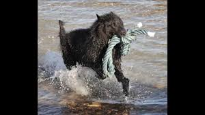 belgian shepherd history belgian shepherd dog jump to the water youtube