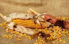 piston cuisine free photo corn piston corn kernels yellow free image on