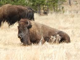 South Dakota wildlife tours images Fl to ak road trip national parks travel rapid city kalispel jpg