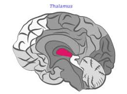 Thalamus Part Of The Brain How Alzheimer U0027s Disease Changes The Brain My Moment