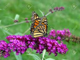 beautiful orange monarch butterfly on butterfly bush stock photo
