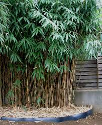 ornamental bamboo bamboo plants perth bamboo landscape plants