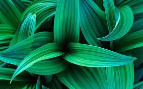 sanserveria leaves exotic wallpaper nature background